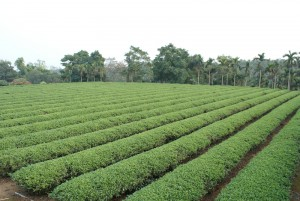 Jinxuan Tea plantation - Central Taiwan