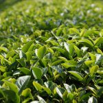 pruned and cultivated tea garden