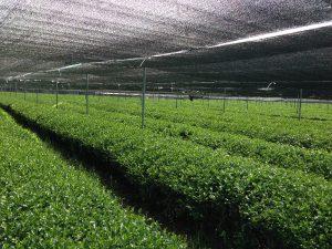 Tea plants shaded during the last 2-3 weeks before harvesting