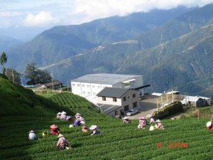 Li Shan High Mountain Tea Garden - Taiwan (elevation 2,400m/7,900ft)