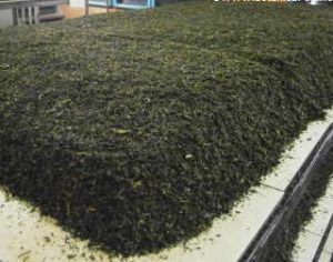 Tea undergoing the oxidization process